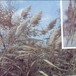 Reedgrass